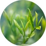 olejek z drzewa herbacianego copy